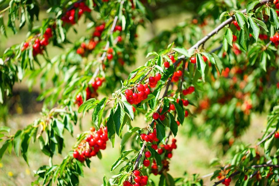 Cherries, Cherry Tree, Sour Cherries, Red, Fruits, Ripe