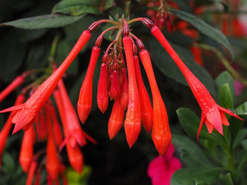 Fuchsia Triphylla, Flowers, Red, Coral Fuchsia, Fuchsia