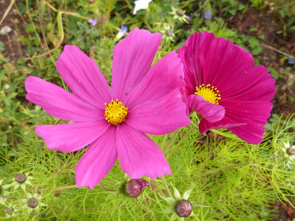 Flower, Blossom, Bloom, Pink, Red, Garden, Nature
