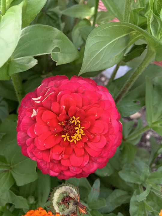 Red, Flower, Garden, Poppy, Bloom, Nature, Summer