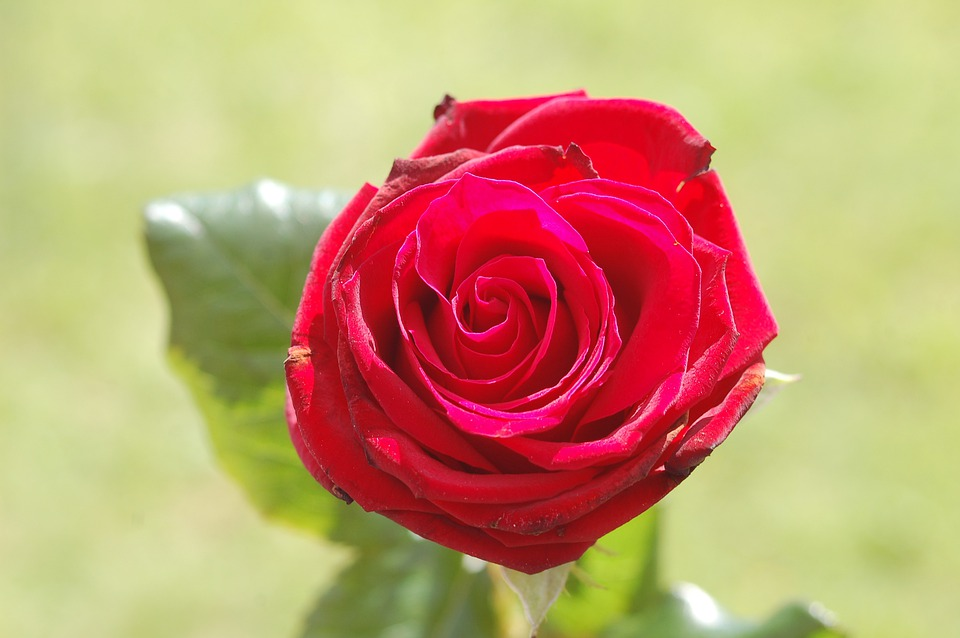 Rose, Red, Flower, Love, Romance, Gift, Romantic