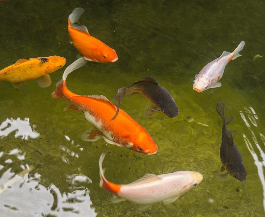 Garden Pond, Goldfish, Fish, Water, Red, White, Black