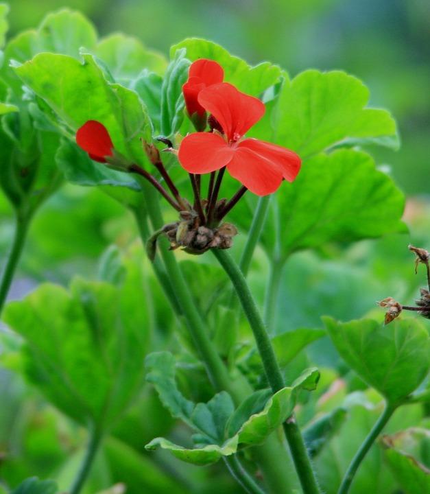 Geranium, Flowers, Flower, Red, Dainty, Leaves, Green