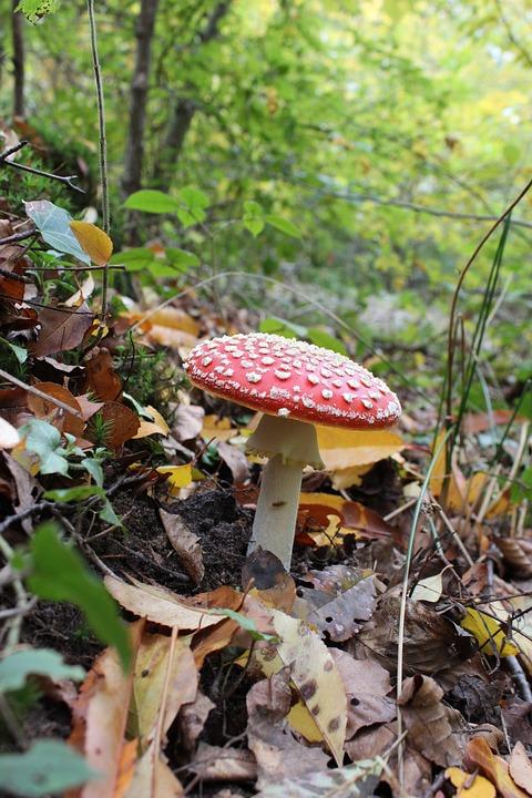 Amanita, Fungus, Forest, Poison, Red Hat