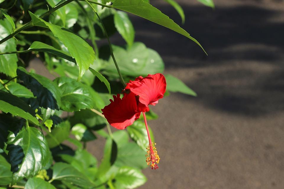 Hibiscus Flower, Flower, Hibiscus, Red, Plant, Garden