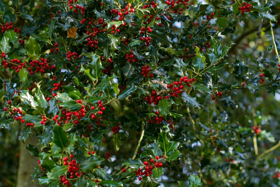 Holly, Tree, Christmas, Red, Nature, Holiday