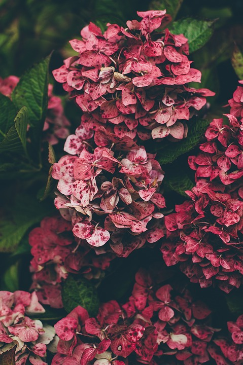 Hydrangea, Red, Natural