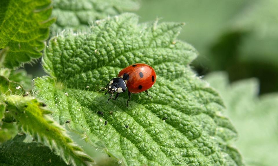 Ladybug, Macro, Lucky Charm, Insect, Beetle, Red