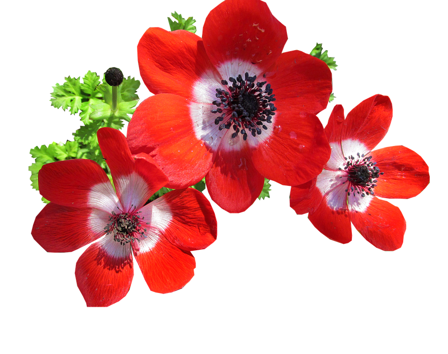 Anemone, Red, Flowers, Bulb, Plant, Cut Out, Isolated