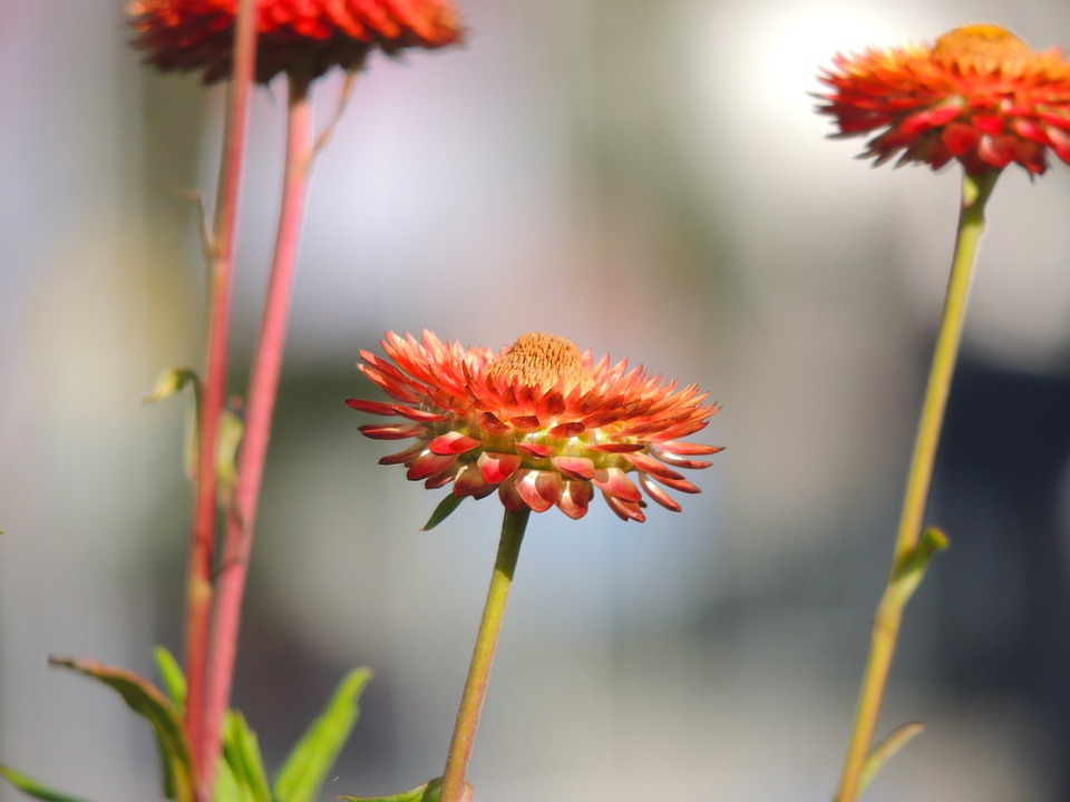 Italicum, Blossom, Bloom, Red, Flower, Macro