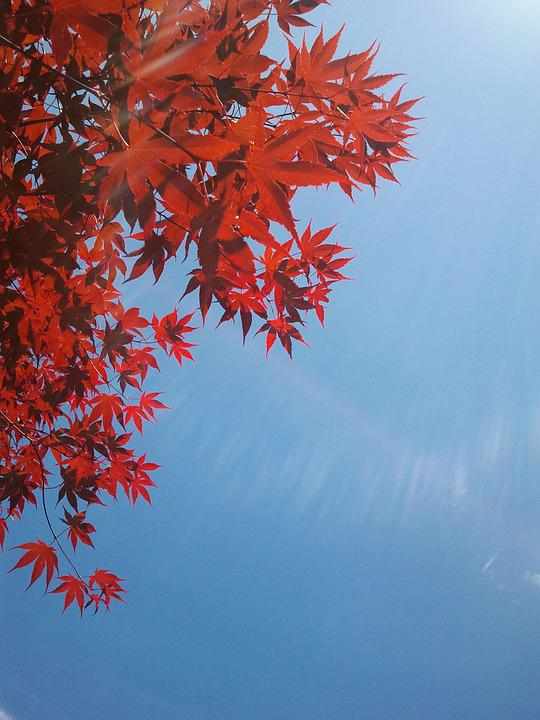 Autumn, Red, Tree, Japanese, Blue Skye