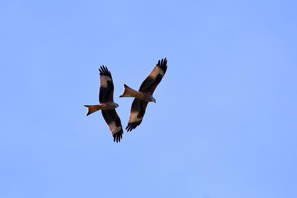 Birds Of Prey, Red Kite, Flying, Wing, Bird Of Prey