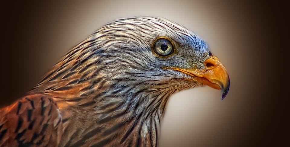 Red Kite, Bird Of Prey, Milan, Raptor, Bird