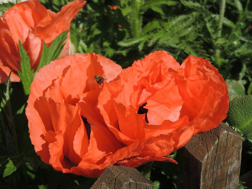 Poppy, Poppy Flower, Klatschmohn, Red, Blossom, Bloom