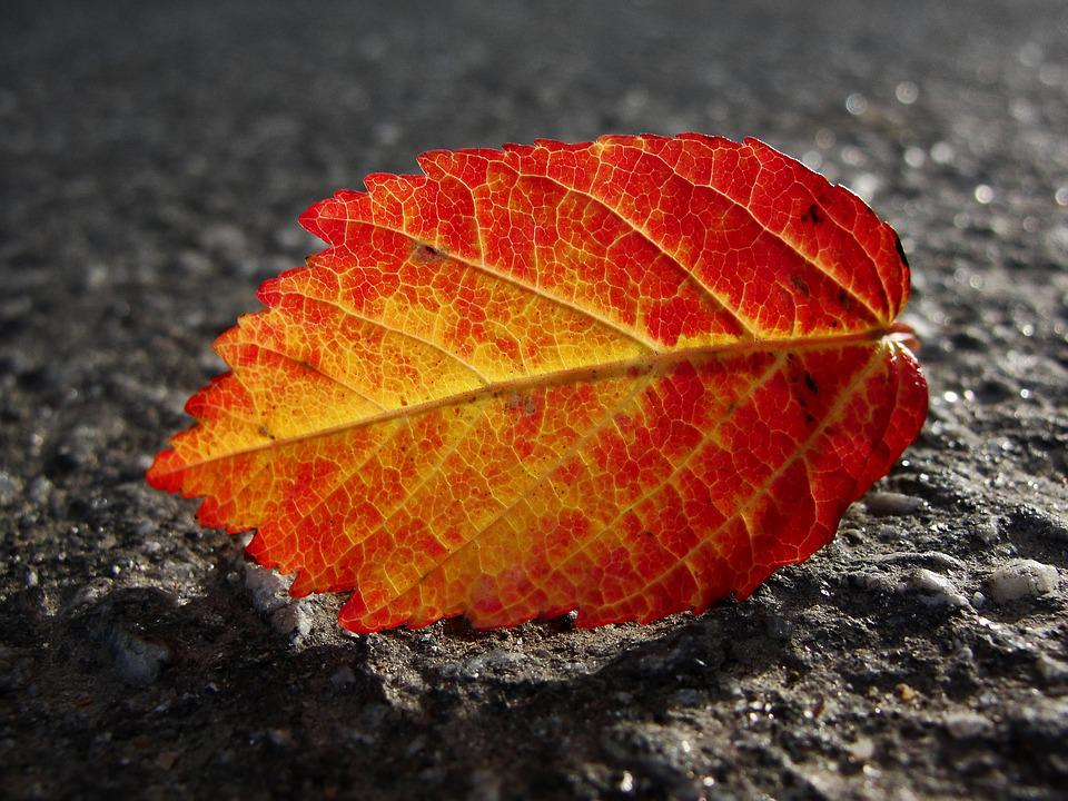 Autumn Leaves, The Transparent Leaves, Red Leaf