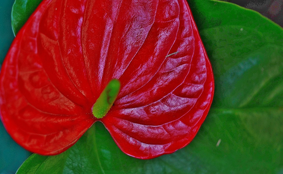 Anthurium, Flower, Red, Leaf, Leaves, Colorful, Green