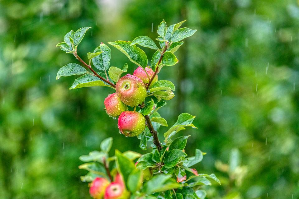 Rainy Weather, Apple, Green, Red, Rain, Summer, Leaves