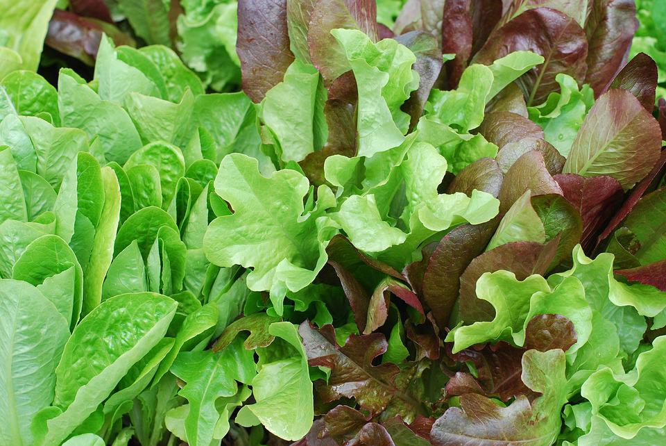Salad, Lettuce, Baby Lettuce, Red Leaves, Leaf