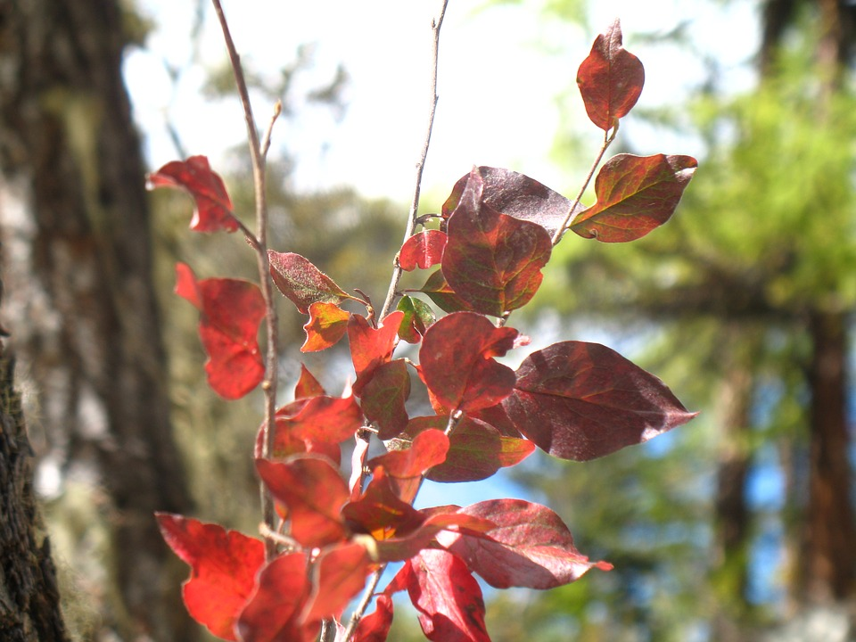 Red Leaves, Plant, Autumn
