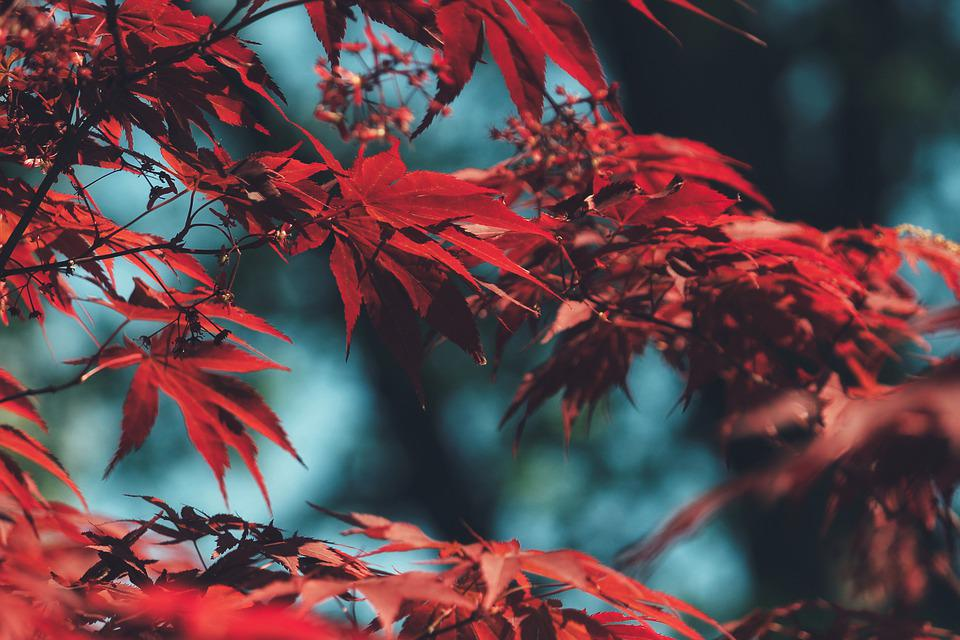 Tree, Leaves, Foliage, Branches, Red Leaves, Bush