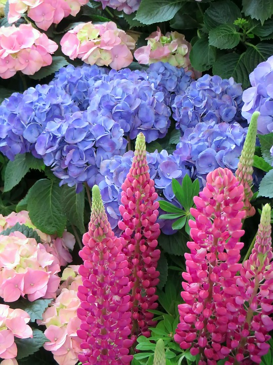 Free photo Red Lupine Pink Hydrangea Blue Flower Bouquet - Max Pixel