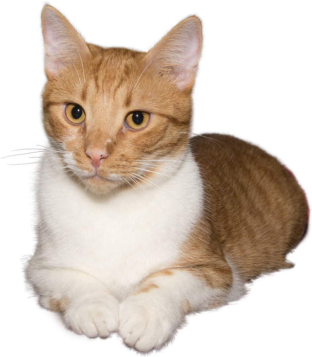 Cat, Lying, Png, Isolated, Red, White, Attention
