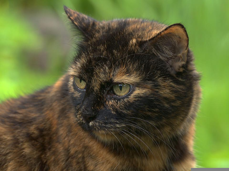 Cat, Pet, Face, Red Mackerel Tabby, Mammal, European