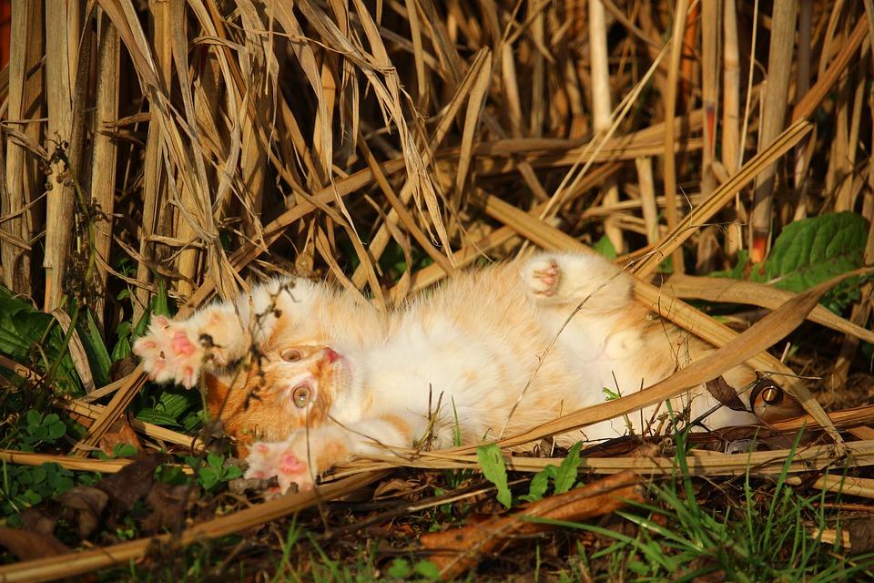 Kitten, Cat, Cat Baby, Playful, Red Mackerel Tabby