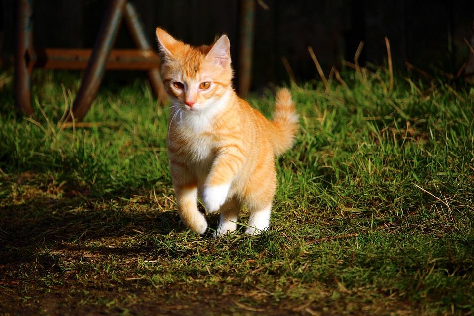 Cat, Cat Baby, Red Mackerel Tabby, Kitten, Mieze