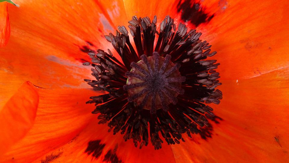 Poppy, Red, Blossom, Bloom, Flower, Mohngewaechs