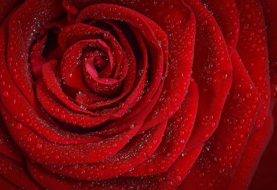 Rose, Red, Rosa, Morning, Rose Flower, Flower