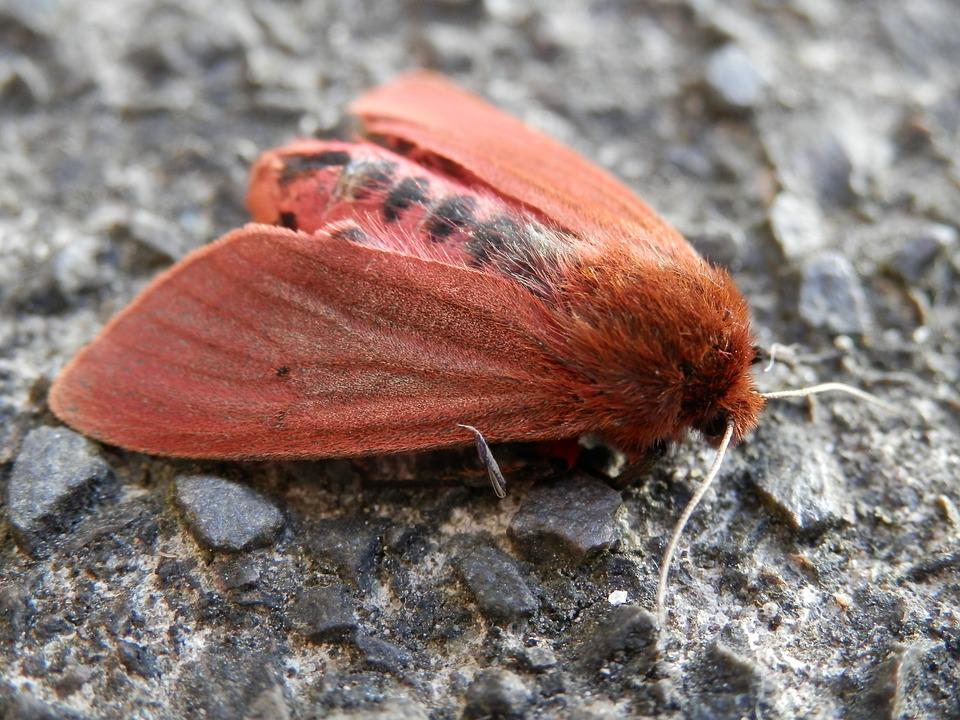 Moth, Red, Insect