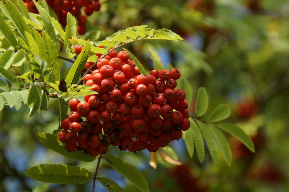 Mountain Ash, Berries, Rowanberries, Red, Fruits, Ash