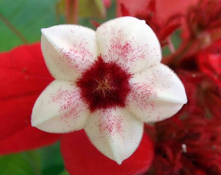 Mussaenda, Red, Stamen, Scarlet, Flower, Flowers, India