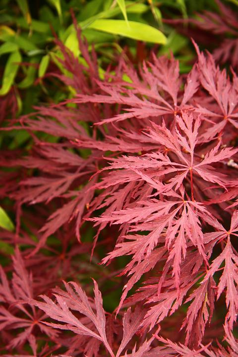 Acer, Japanese, Maple, Red, Leaf, Tree, Nature