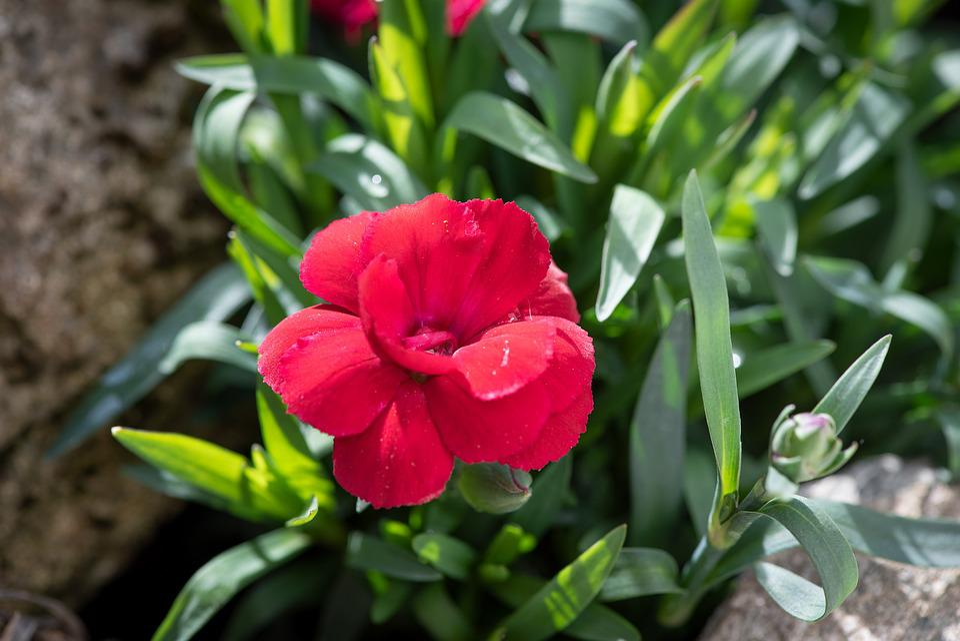 Carnation, Flower, Blossom, Bloom, Red, Pink, Nature