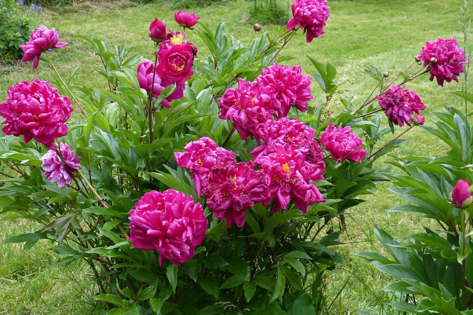 Peony, Red, Blossom, Bloom, Flower, Beauty, Nature