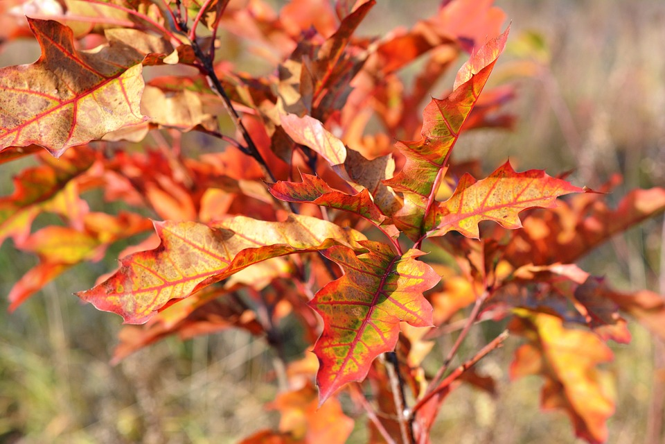 Autumn, Red, Foliage, Autumn Gold, Nature, Leaf