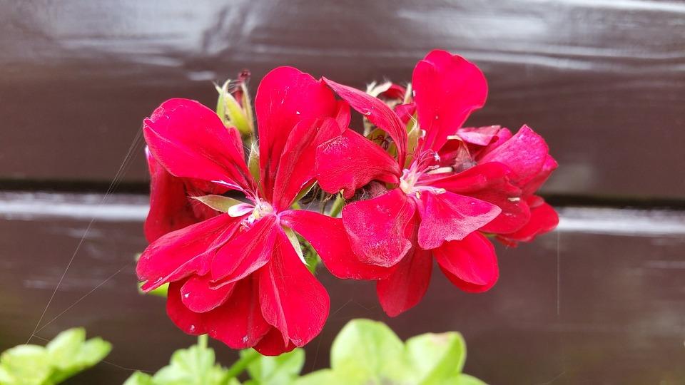 Geranium, Red Geranium, Nature, Red