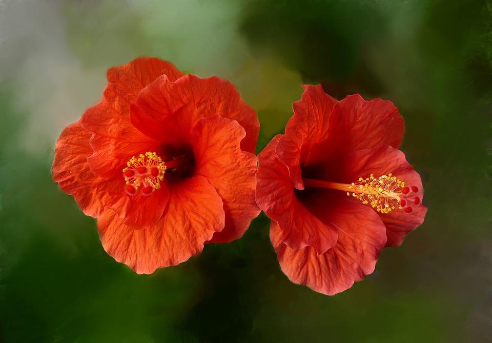 Hibiscus, Red, Blossom, Bloom, Orange, Beautiful