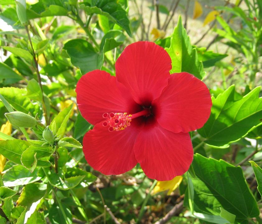 Hibiscus, Ishigaki Island, Outlying Islands, Red