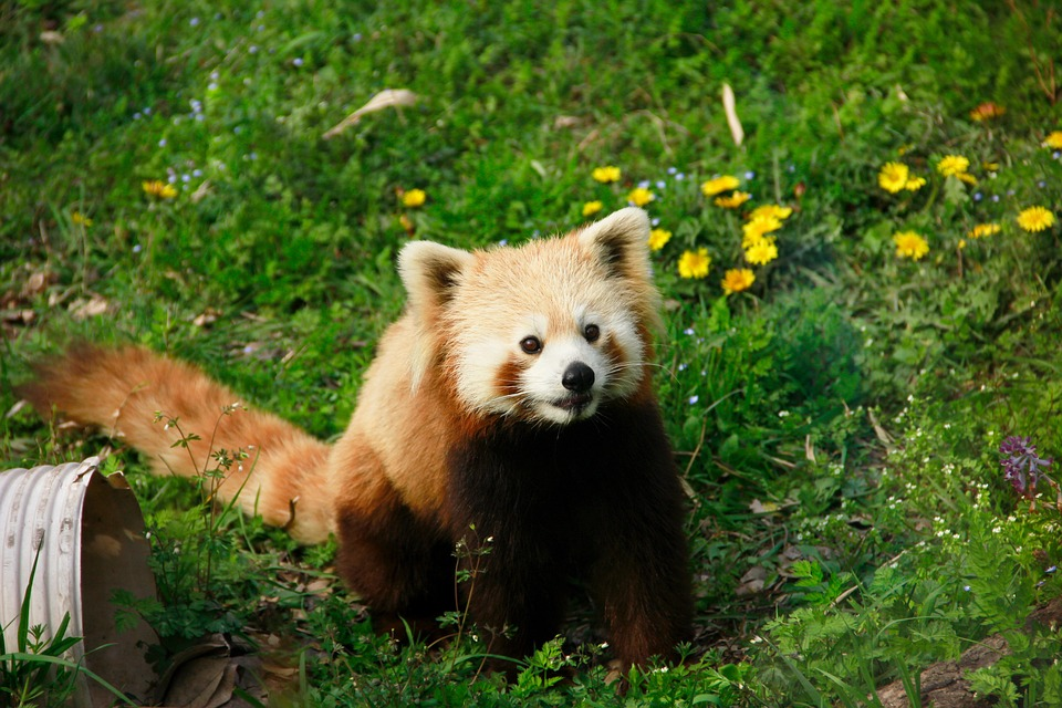 Red Panda, Animal, Moe