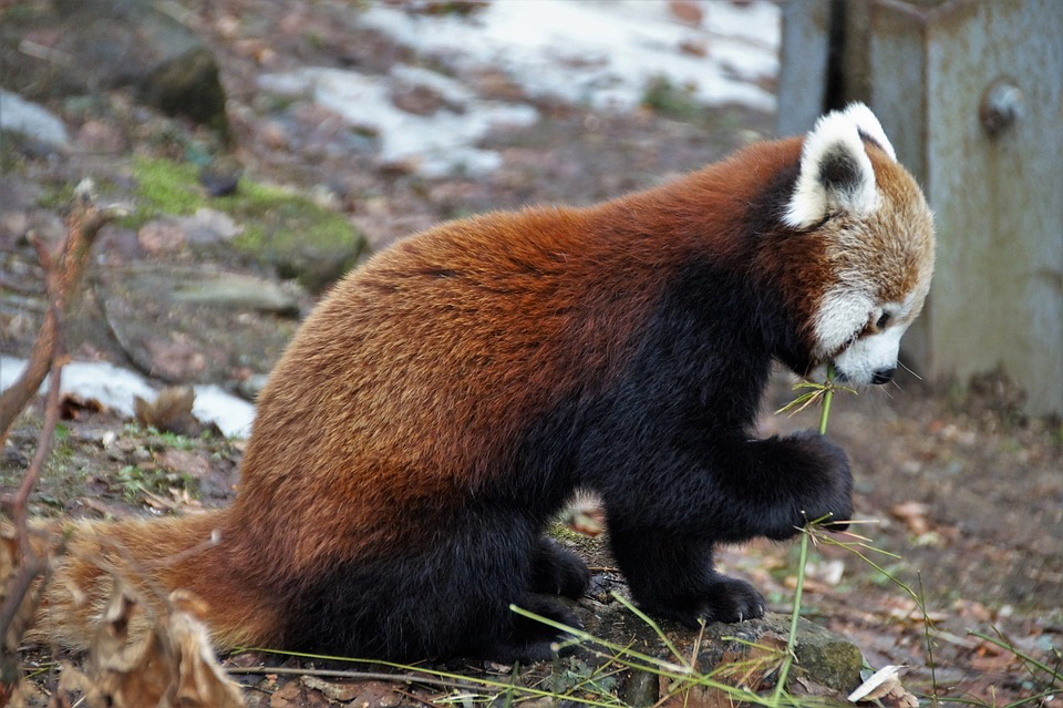 Red Panda, Wild, Animal, Mammal, Zoo