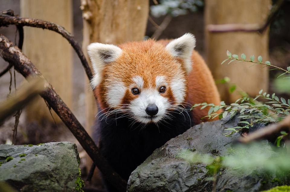 Animal, Red Panda, Cute, Wildlife, Zoo, Brown Animals