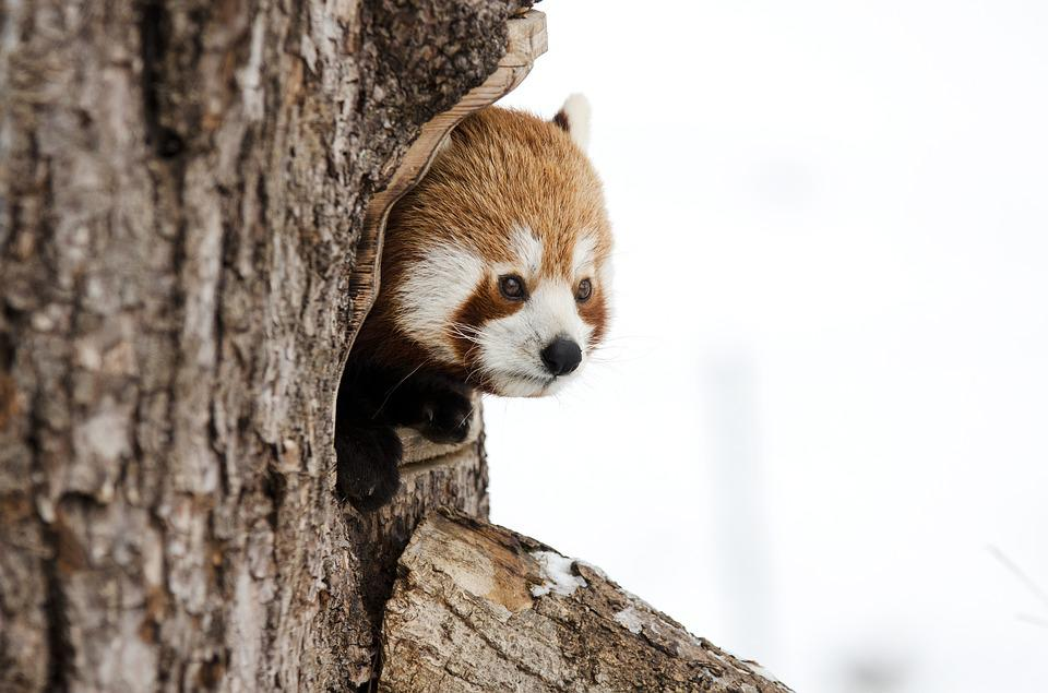 Red Panda, Chinese Panda, Winter, Zoo
