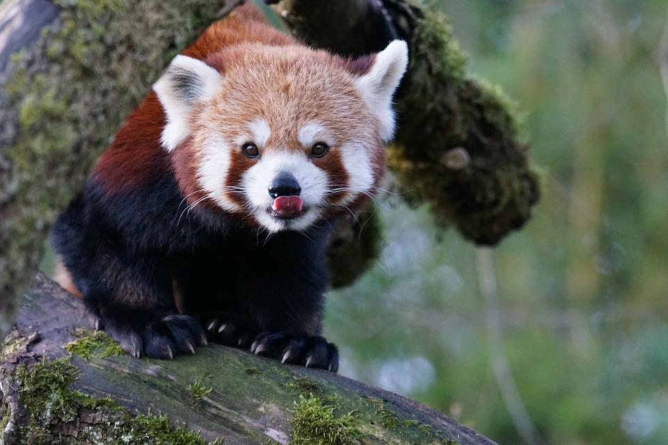 Animals, Small-panda, Red Panda, Panda, Climber