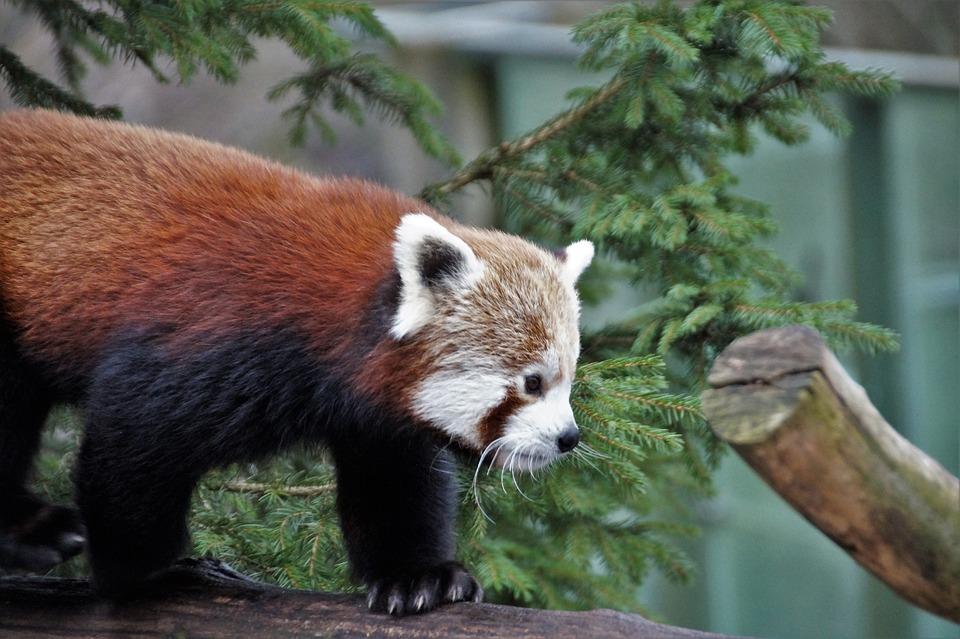Red Panda, Wild, Animal, Mammal, Zoo