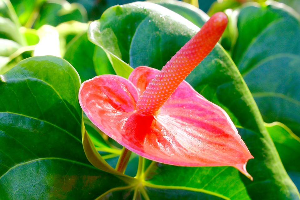 Red Peace Lily, Flower, Flowers, Garden, Ornamental