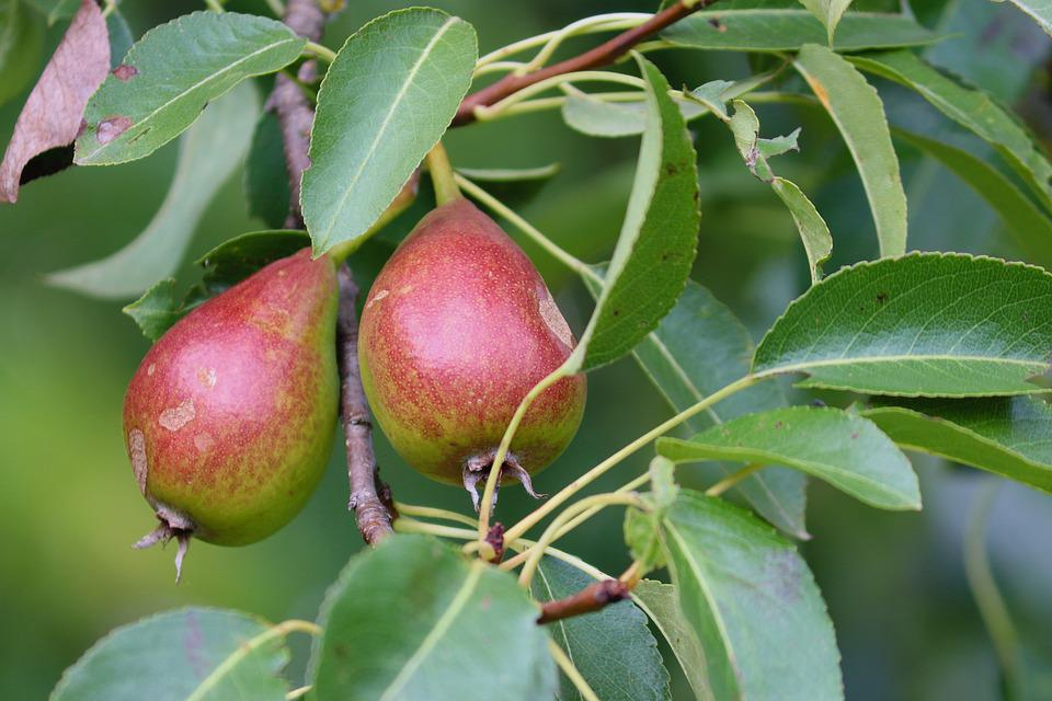 Pears, Pear, Fruits, Red, Hanging, Depend, Fruit