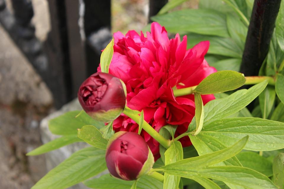 Peony, Red, Flower, Flowering, Garden, Spring, Summer